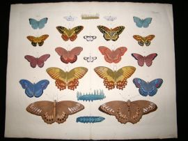 Albertus Seba C1750 LG Folio Hand Coloured Print. Butterflies 44